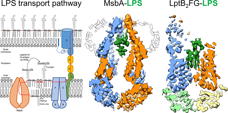 LPS transport pathway, MsbA and LptB2FG